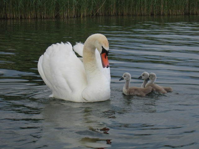 Swan and Family