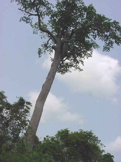 One of the last giant remnants of the rain forest in Côte d'Ivoire