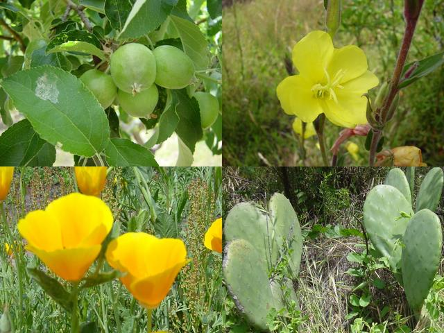 "Flora at the confluence: (clockwise from top left) apples, yellow flower (variety unknown), prickly pear cactus (called ""tuna"" locally), and Californian poppies (Eschscholzia californica)"