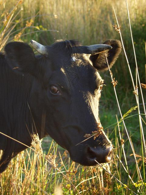 Cow in the next field