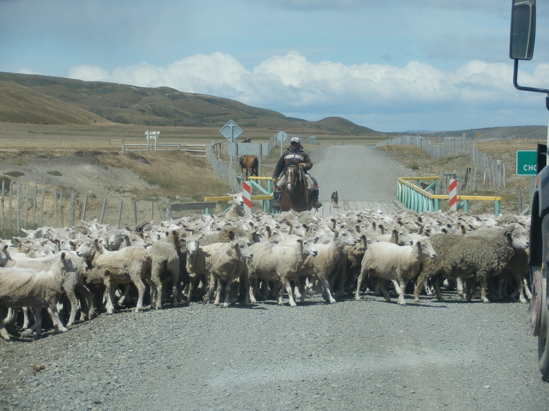 Flock of Sheep Crossing the Road