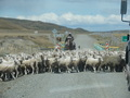 #10: Flock of Sheep Crossing the Road