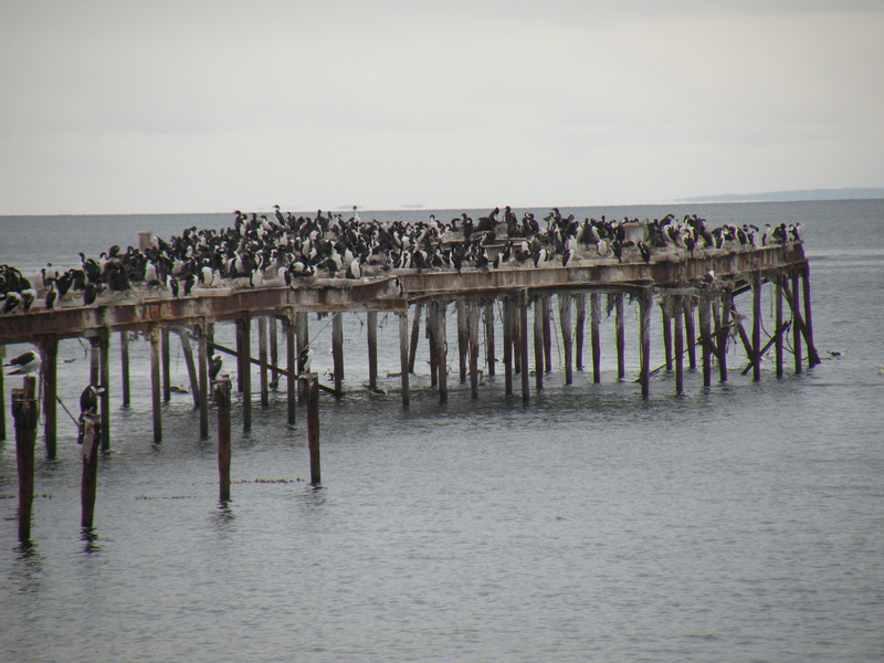 Cormorants at the Pier Head in Punta Arenas