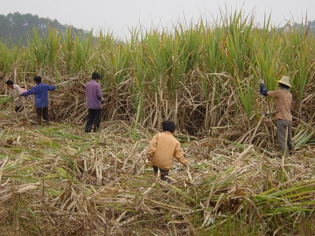 Peasants harvesting sugar cane, within a few dozen metres of the confluence