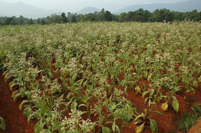 Flowering tobacco plants