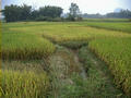#4: More Rice Looking South