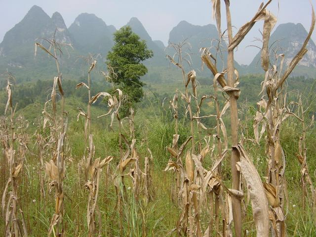 Ghostlike cornstalks, with the tall karst mountains providing an eerie backdrop