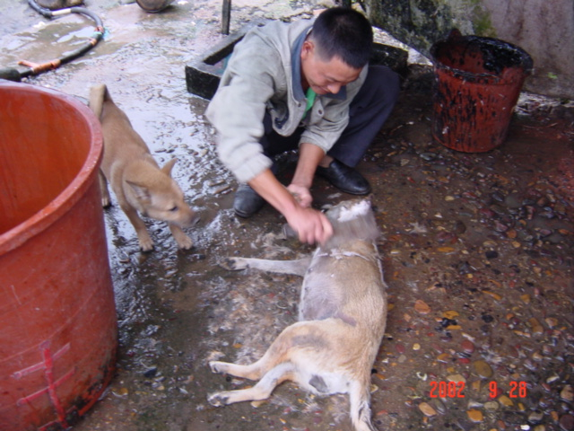 Freshly slaughtered dog being prepared for cooking, as another looks on.