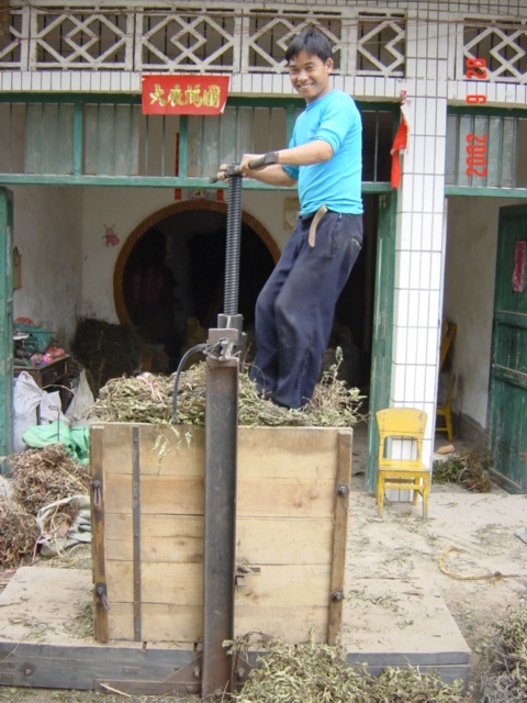 Leaves being pressed, ready for extraction of sesame oil.