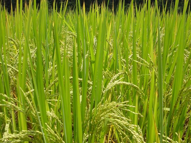 Mature rice plants, almost ready for harvesting