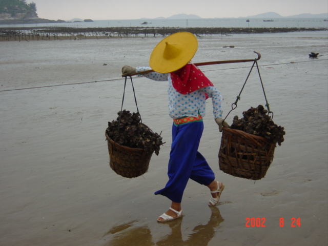 Oysters are carried on a shoulder yoke a short distance across the beach to a processing centre.