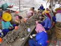 #9: Many local women, both young and old, busy extricating the flesh from the shells.
