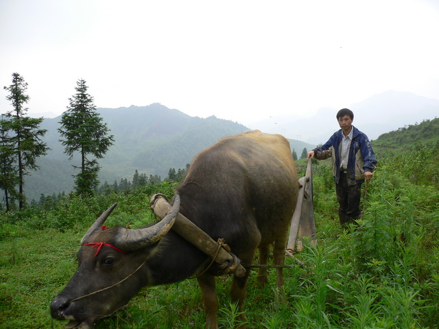 A peasant and his water buffalo.