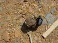 #8: Dung beetle, busy doing what dung beetles do