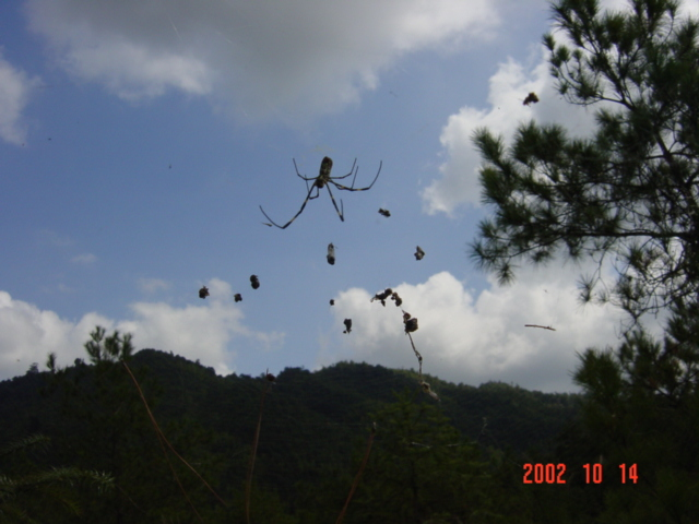 Gigantic spider hanging in mid air.