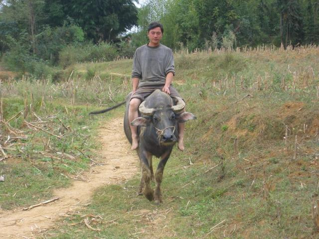 A farmer Approaching riding his Ox