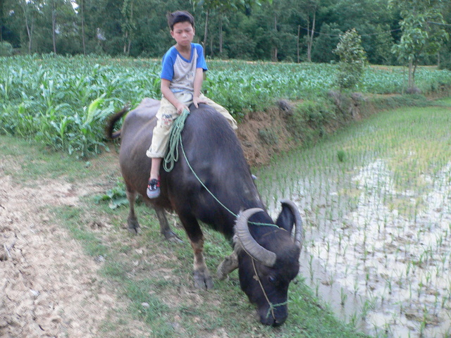 Boy riding a water buffalo near the confluence.