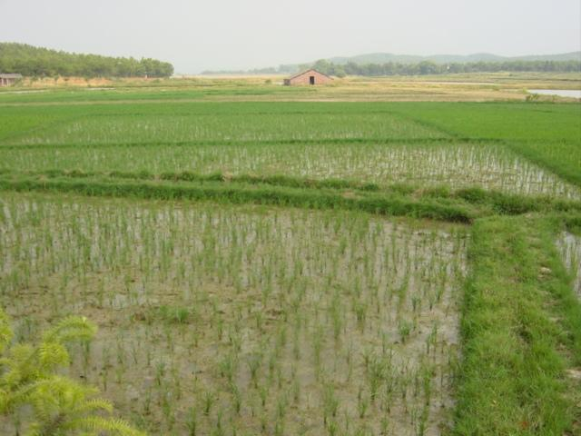 Rice paddies, with confluence near water at top right