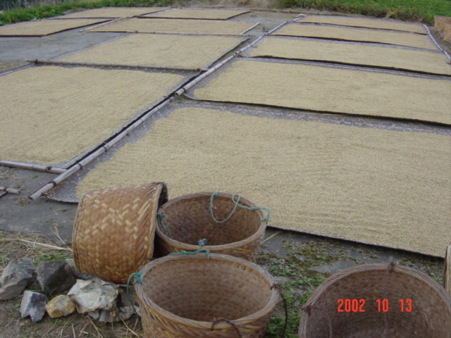 Freshly harvested rice, spread out on bamboo mats to dry in the sun.