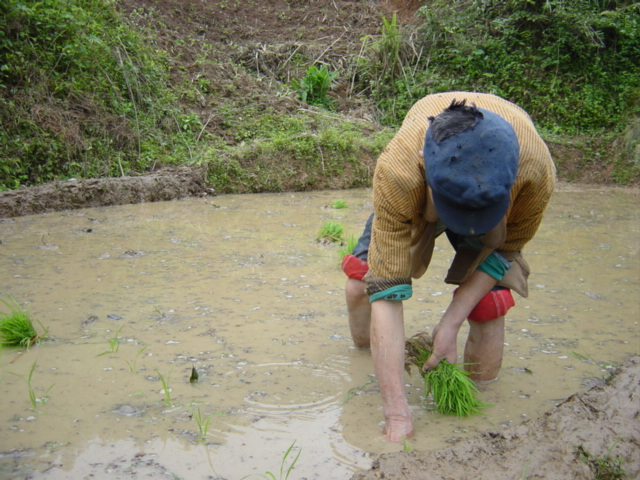 A peasant planting rice the old-fashioned, backbreaking way, by bending down and firmly placing each young seedling into the mud by hand
