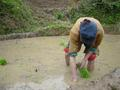 #4: A peasant planting rice the old-fashioned, backbreaking way, by bending down and firmly placing each young seedling into the mud by hand
