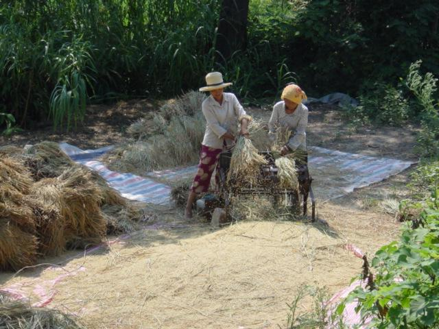Women using power-driven threshing-machine to thresh rice
