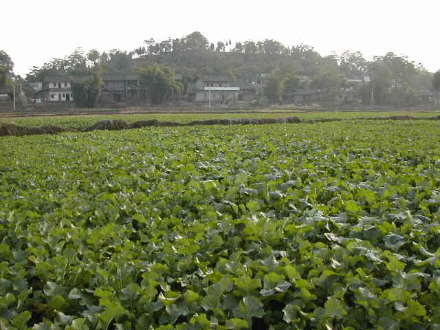 Looking south from the CP across a field of lotus root to a small village
