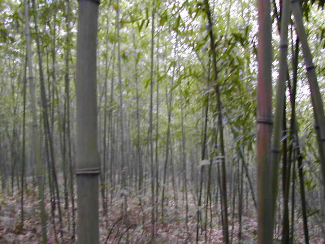 Confluence Point in a Bamboo Grove facing West