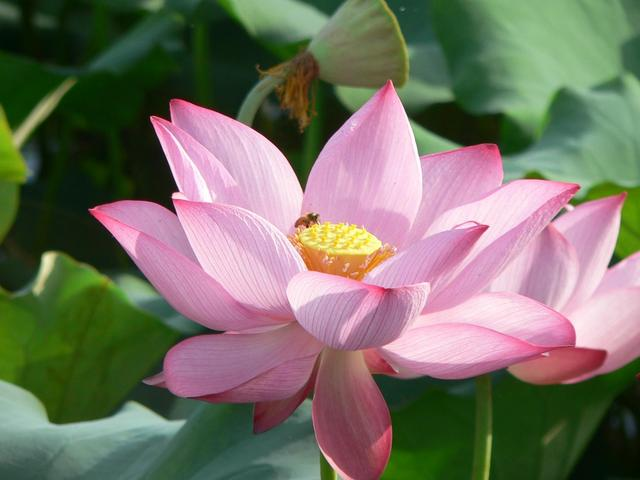 Beautiful lotus flower.
