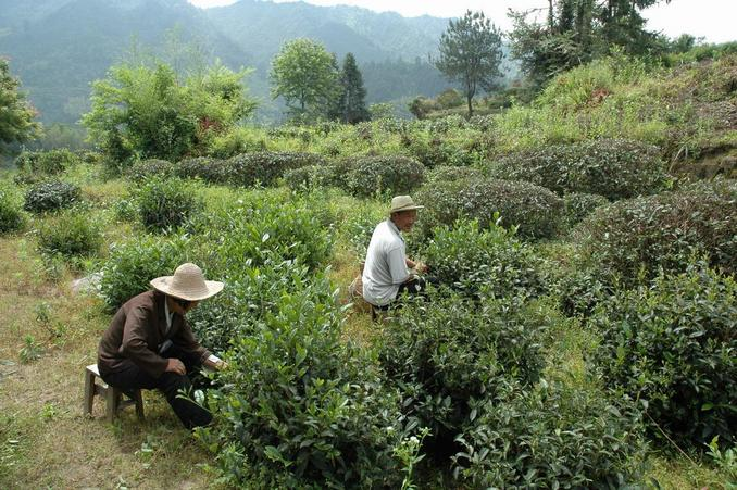 Tea picking by the confluence area