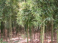 #4: West facing: bamboo.