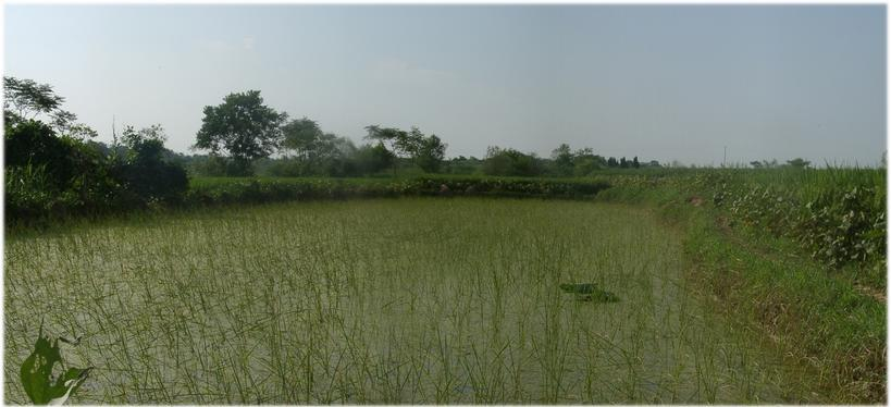 Confluence in rice field with lotus leaf indication, north view