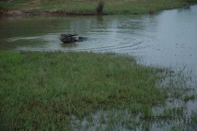 Water buffalo in a pond near the confluence point