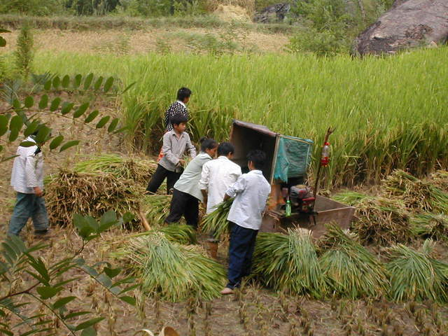 Rice harvesters hard at work