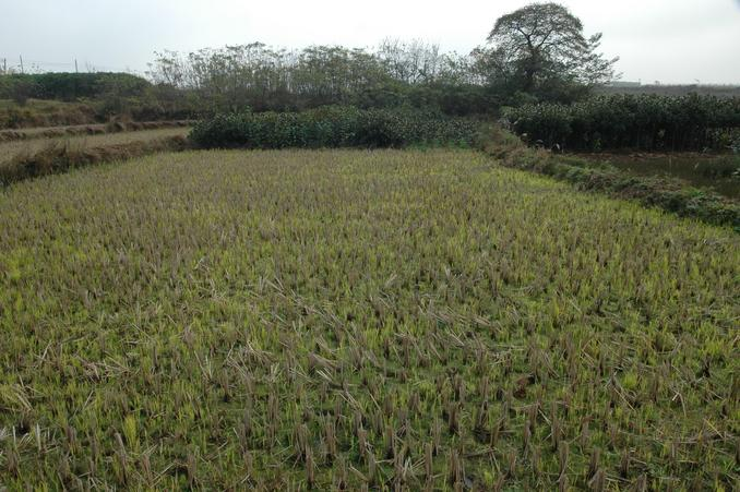 交汇点处在稻田中 / The confluence in a rice paddy
