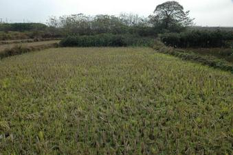 #1: 交汇点处在稻田中 / The confluence in a rice paddy