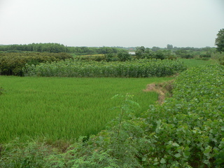 #1: General view of the confluence area, with the confluence located within the tall crop beyond the rice paddy