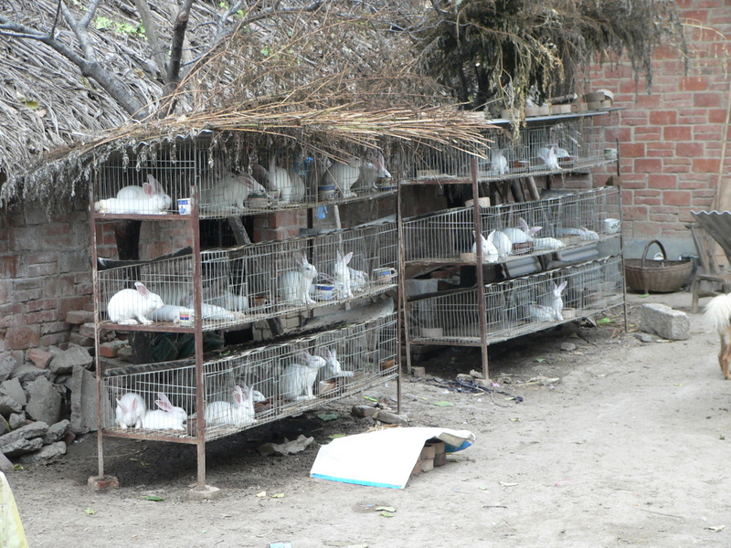 Raising white rabbits in Zuǒwā Village
