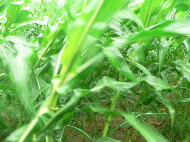 Among swirling corn plants at confluence.