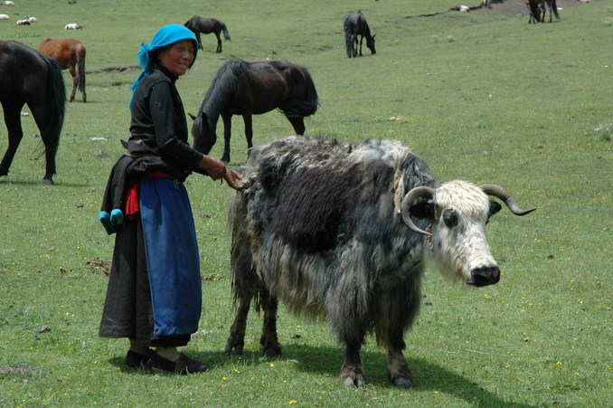 The elder herder with one of the older yak