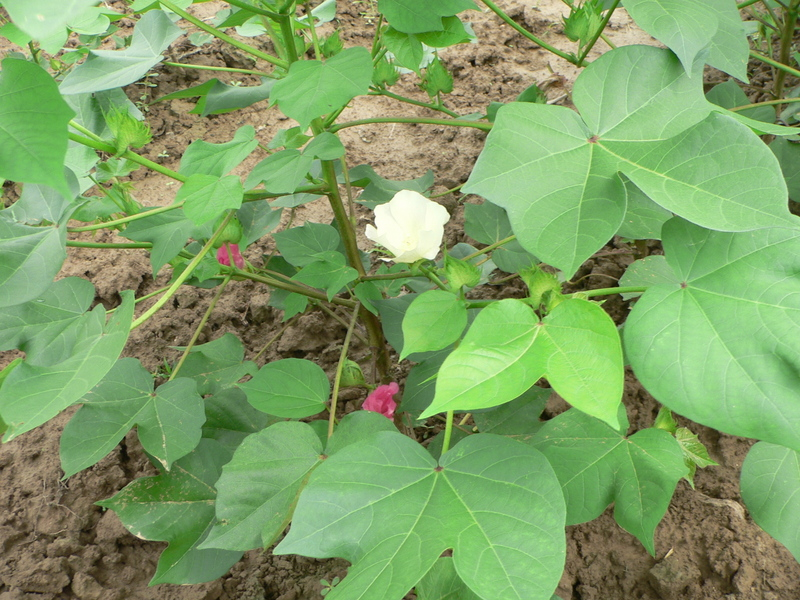 Cotton plant with white and pink flowers