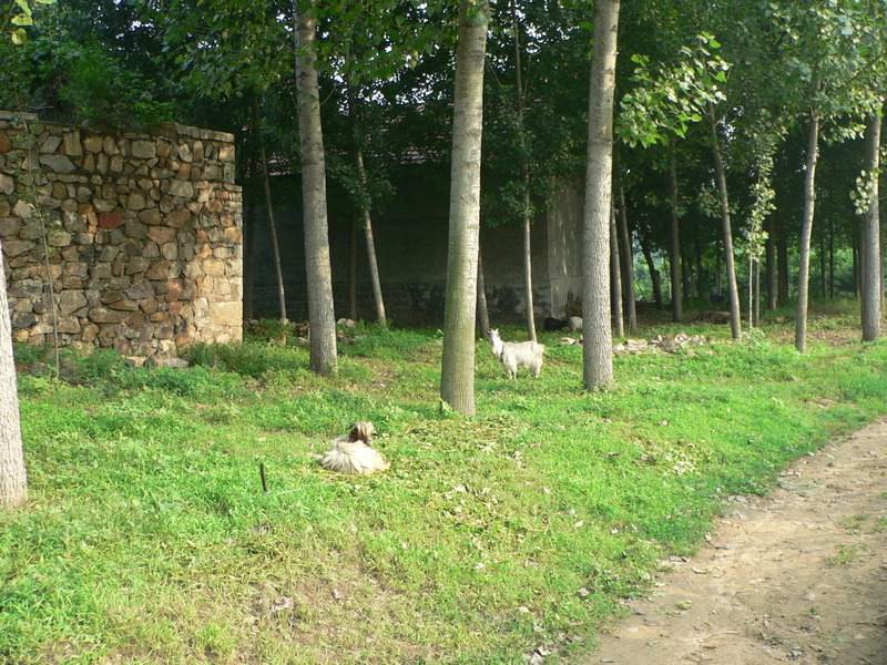 Goats on the approach to Dìyúgōu Village