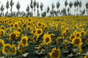 #10: Sun flower field nearby