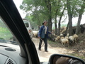 #2: Flock of sheep blocking the road