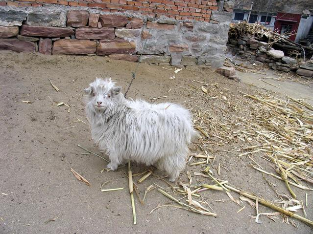 a cute goat near the road