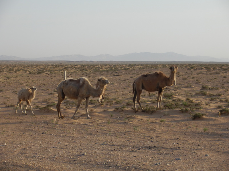 Camel Family Nearby