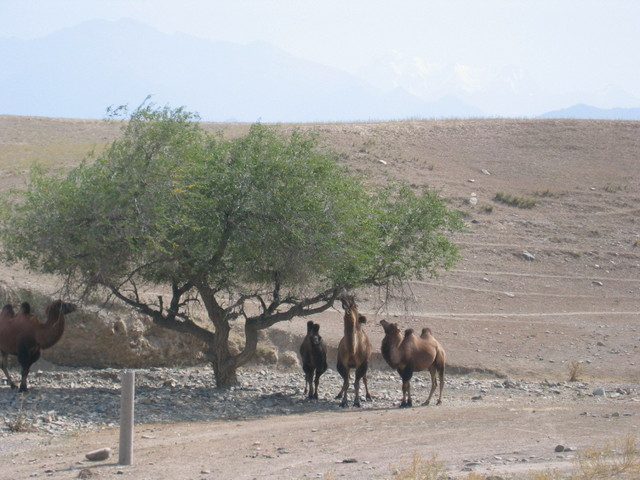 Hungry Camels Nearby