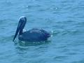 #6: Pelican may be standing in the point