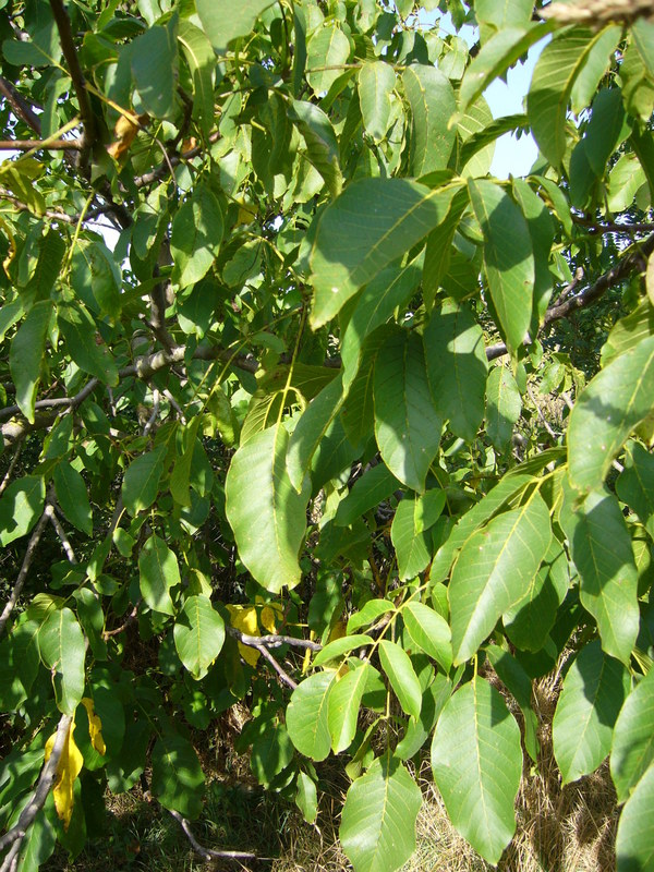 Northeast: walnut tree