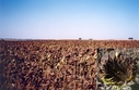 #6: Sunflower field at the other side of the road (view towards NW)